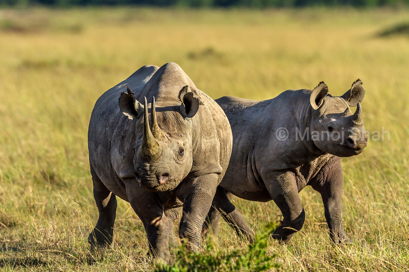 Black Rhino mother with baby in Masai Mara.
