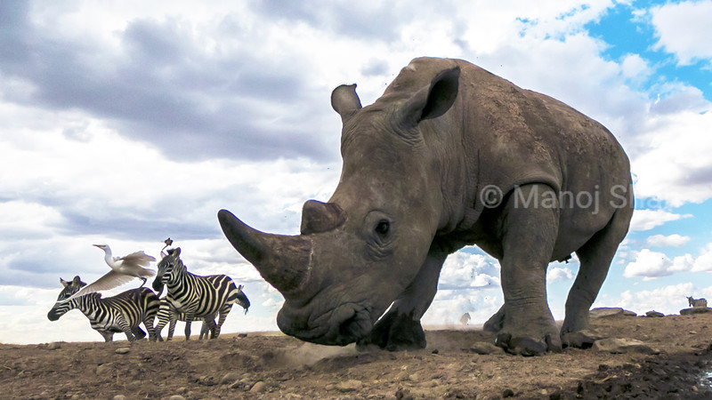 White rhinocerous and Zebras walking in Laikipia