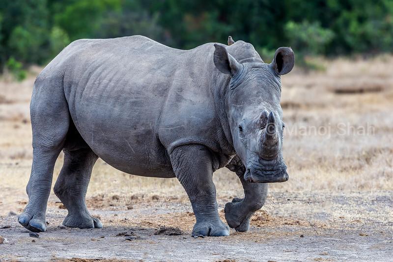 White Rhinoceros in Laikipia savanna
