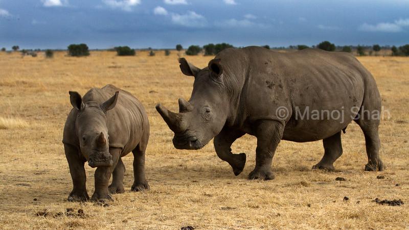 White Rhinoceros mother and baby grazing in Laikipia savanna.