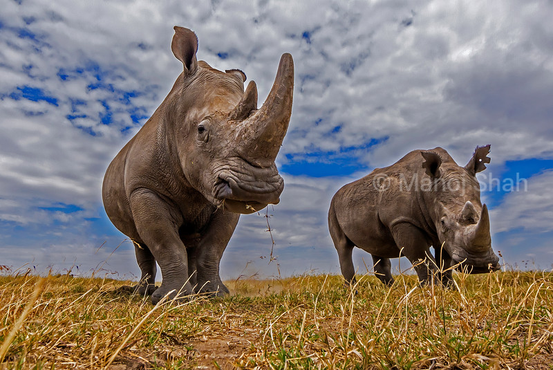 White rhinos  grazing in the laikipia savanna.