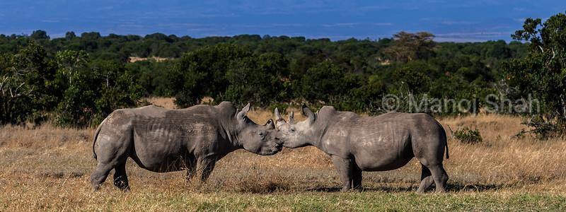 white rhinos touching horns at laikipia savanna.