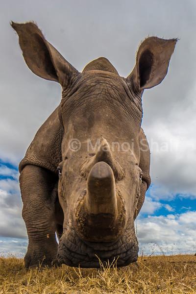 White Rhinoceros grazing in Laikipia savanna, Kenya