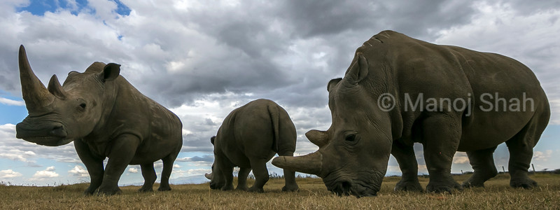 One northern white rhinoceros and two southern white rhinoceros at Ol Pejeta conservancy in Kenya