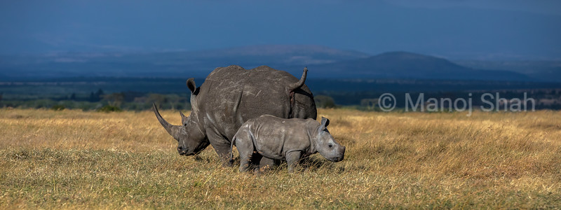 Black rhino mother with baby grazing in Ol Pejeta, laikipia.