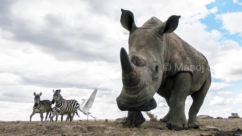 White rhinocerous and Zebras walking in Laikipia