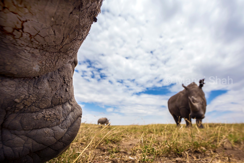 Close up of wide mouth grazing of White rhinocerous in Laikipia.