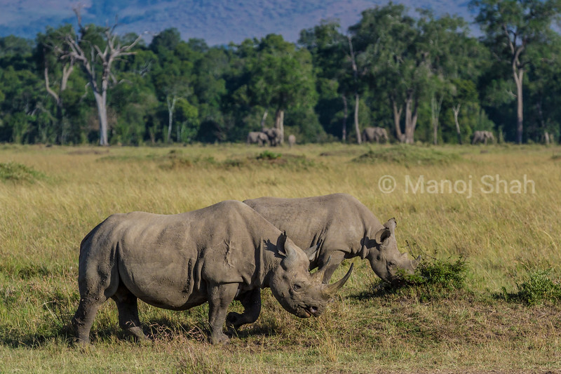 Black Rhino mother and baby in front of elephants in Masai Mara.