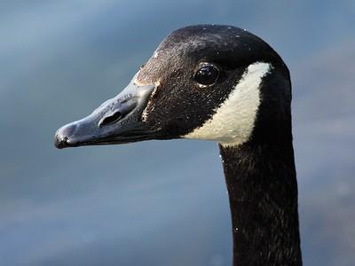 Goose In Closeup!