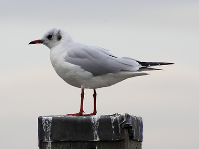Another Tayport Seagull