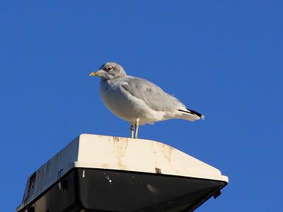 Lamppost Seagull