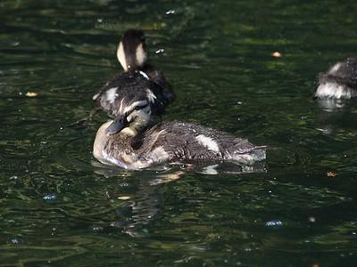 Posing Duckling