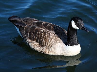 Canada Goose!