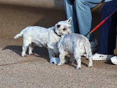Westie Dogs!