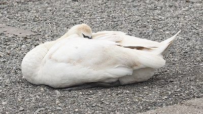 Another Sleeping Swan