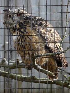 Owl 17