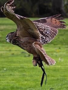 Owl 26