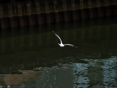 Clyde Seagull