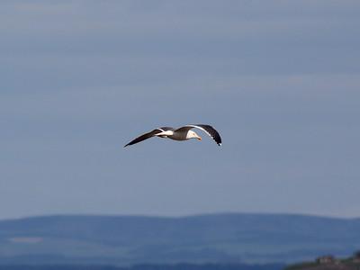 Burntisland - Gull!