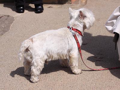 North Berwick - Westie Dog!