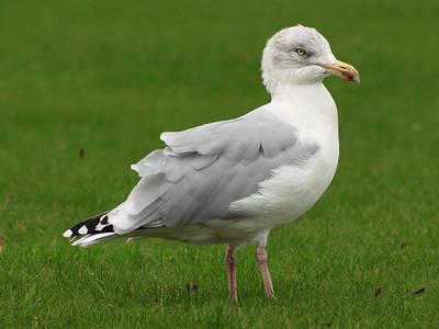 Tayport Seagull