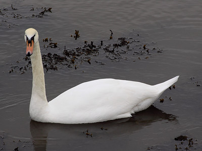 Tay Swan