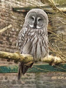 Sleepy Great Grey Owl!