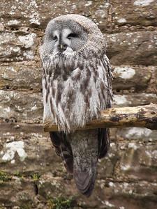 Smug Great Grey Owl!