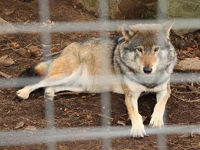 Bored Wolf!
