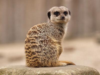 Unamused Meerkat!