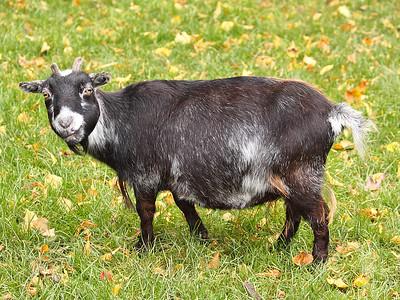 Bemused Goat!