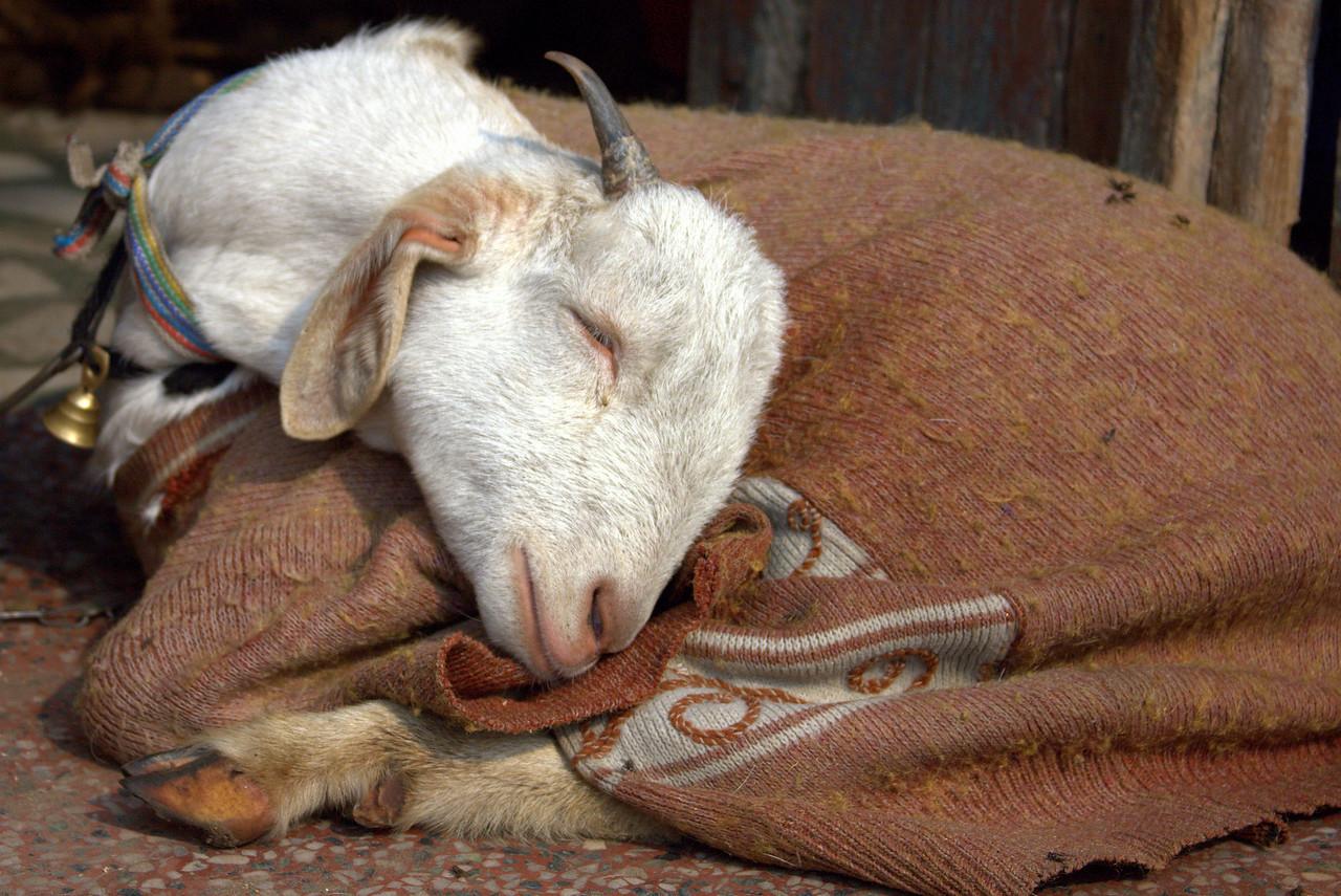 Goat in Agra