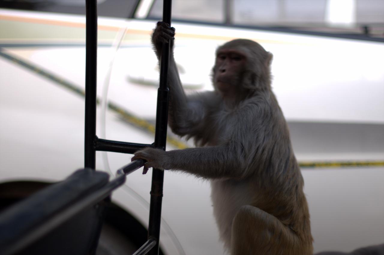 Monkey in our rickshaw