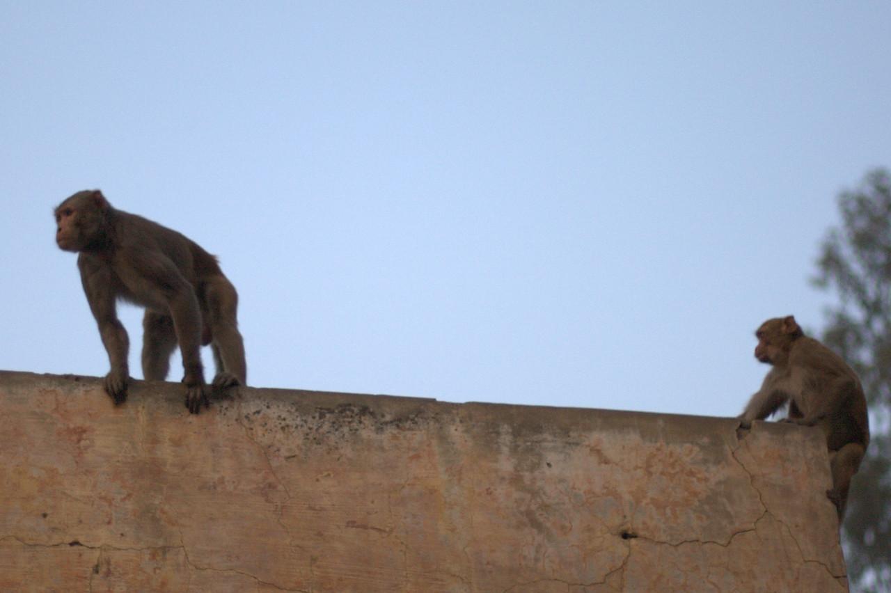 Monkeys in Agra