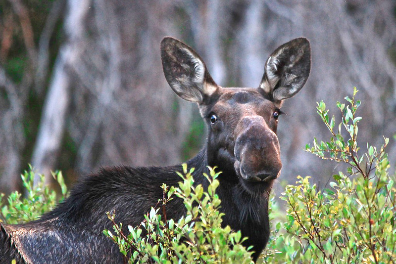 Miss Moose - Snowy Range, Medicine Bow National Forest, Wyoming - Sandy Reed - August 2013