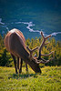 Bull in Velvet - Rocky Mountain National Park, Colorado - John Cunningham - July 2011