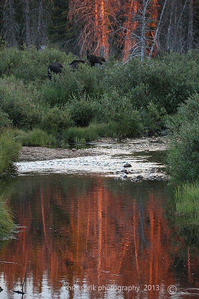 Snowy Range Moose - Snowy Range, Medicine Bow National Forest, Wyoming - Chris Sprik - August 2013