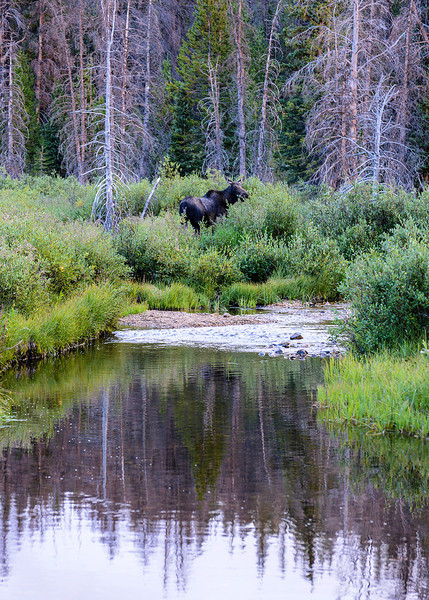 Moose and Reflections - Snowy Range, Medicine Bow National Forest, Wyoming - Roger Luft - August 2013