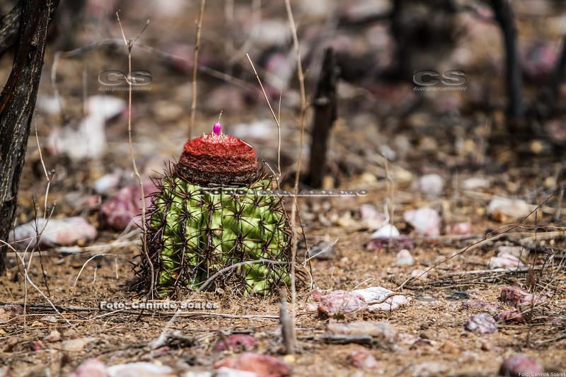 Coroa de frade