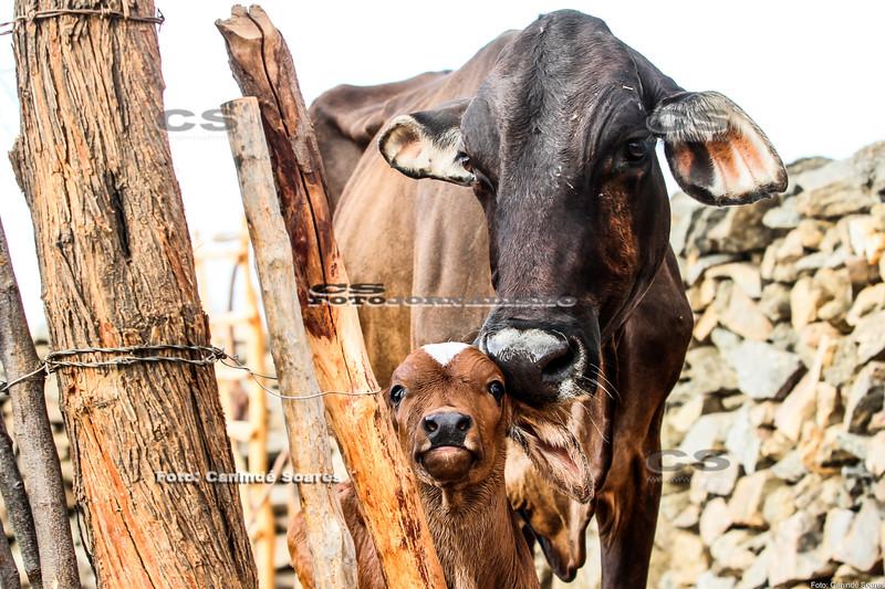 Vaca e bezerro