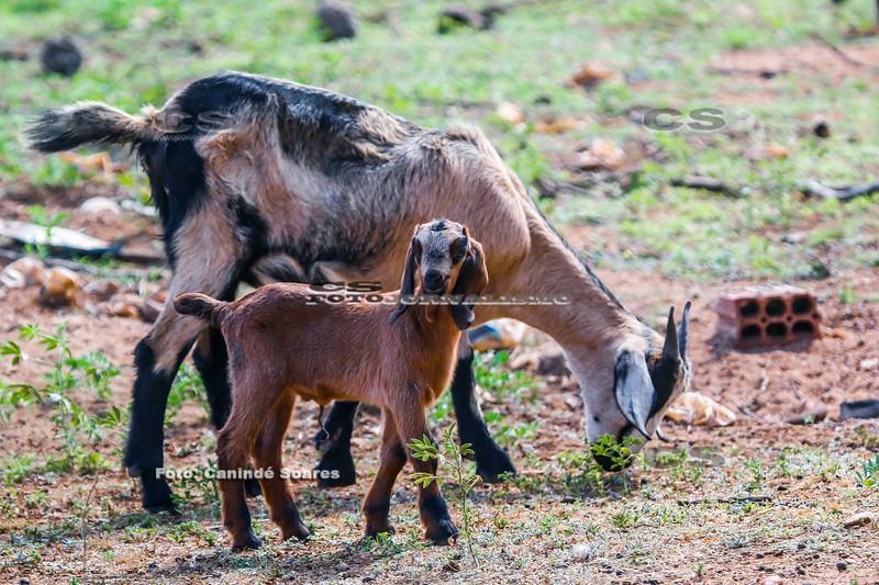 Cabra com filhote