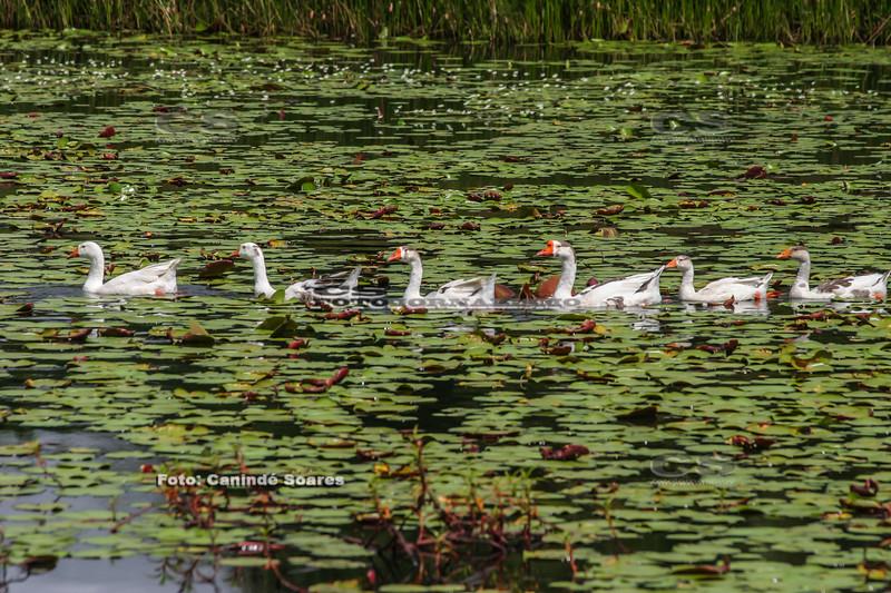 Ganços no lago