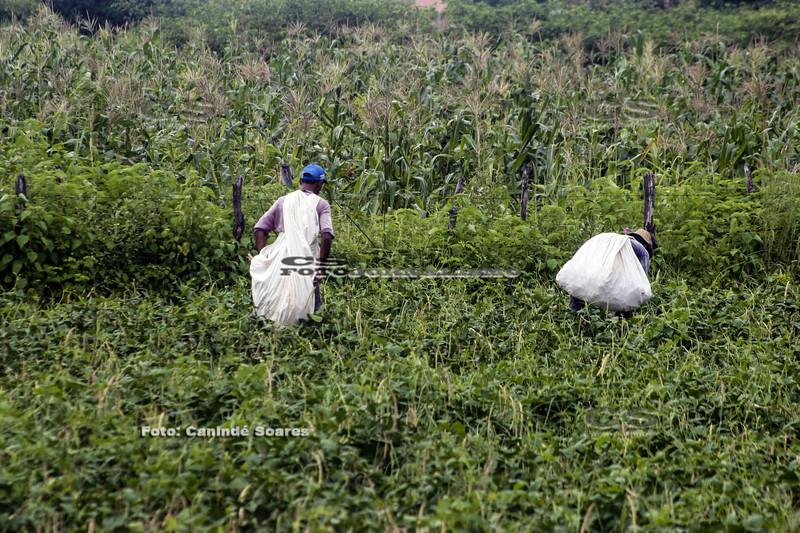 Agricultores na colheita