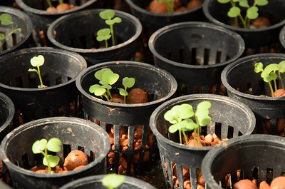Seedlings are grown in a substrate of moist clay balls, then transfered into the aquaponics tables where the roots grow in water with little or no soil.