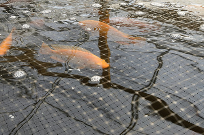 Tilapia aquaculture system rearing tank.