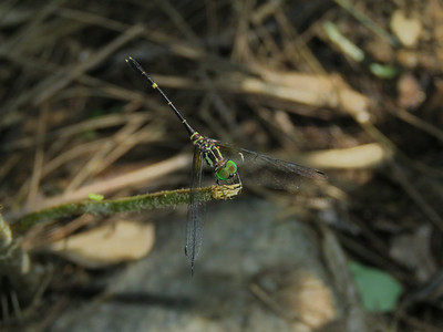 DR 3 ARCHTAIL ELUSIVE_01 A tiny and very, very difficult to spot dragonfly as it roosts in the forest deep shadows adjacent to flowing rivers. It is aptly named the Elusive Archtail.