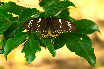 "B CAIRNS BIRDWING F  04 The largest butterfly in Australia, the Cairns Birdwing female, with a 15 cm ( 6"" ) wingspan."
