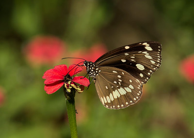 A Common Crow Butterfly feeding on a wildflower.