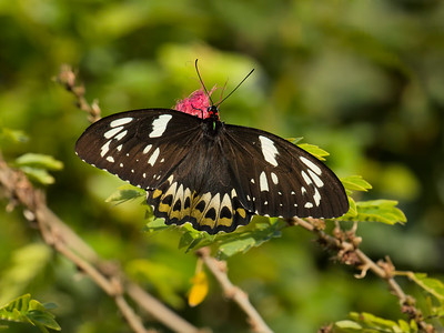 Australia's largest butterfly, the stunning female Cairns Birdwing. It grows to 15 cm or 6 inches, in size.