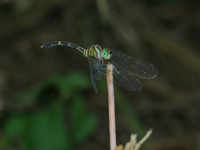 DR 3 ARCHTAIL ELUSIVE_02 A tiny and very, very difficult to spot dragonfly as it roosts in the forest deep shadows adjacent to flowing rivers. It is aptly named the Elusive Archtail.